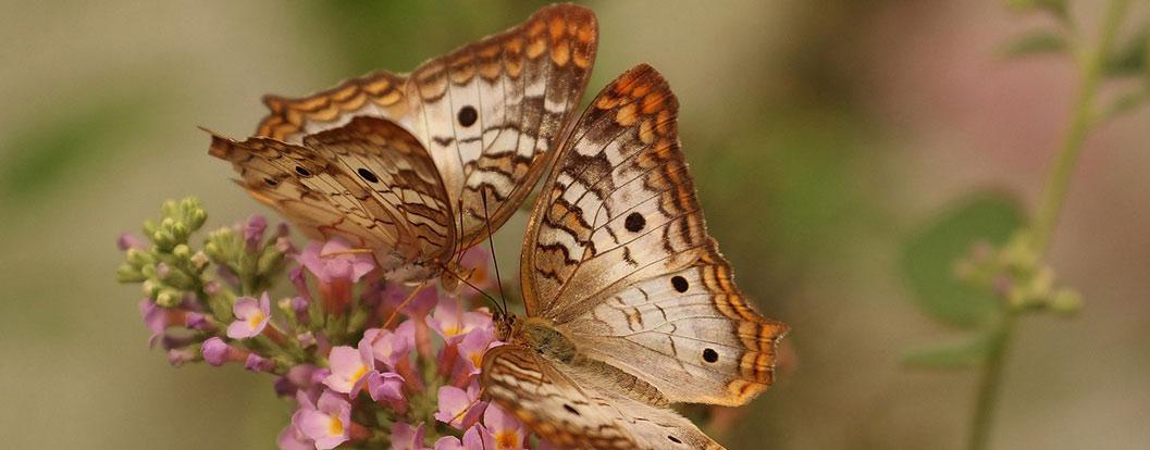 farfalle-soal